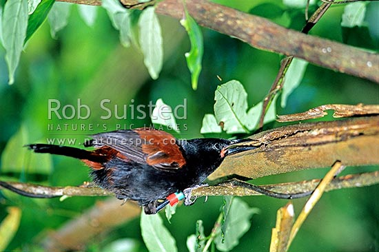 North Island Saddleback (Philesturnus c. rufusater) hunting for insects in dead fern frond, New Zealand (NZ) stock photo.