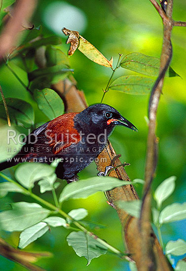 North Island Saddleback (Philesturnus c. rufusater), New Zealand (NZ) stock photo.