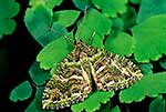 Native moth