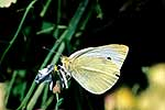 White butterfly pest