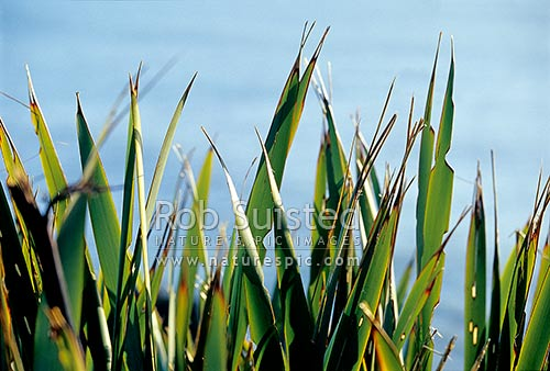 Sunlight on flax (Phormium sp.) leaves, Punakaiki, New Zealand (NZ) stock photo.