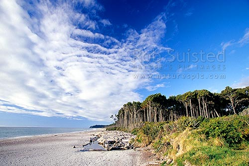 Bruce Bay beach with Rimu tree forest (Dacrydium cupressinum), Bruce Bay, Westland District, West Coast Region, New Zealand (NZ) stock photo.