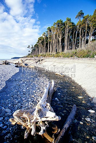 Bruce Bay beach and stream with Rimu tree forest (Dacrydium cupressinum), Bruce Bay, Westland District, West Coast Region, New Zealand (NZ).