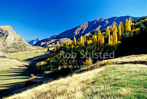 Yellow Autumn coloured poplar trees in Central Otago, Queenstown, Queenstown Lakes District, Otago Region, New Zealand (NZ) stock photo.