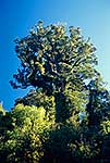 Northern Rata tree