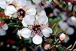 Manuka honey flowers, New Zealand