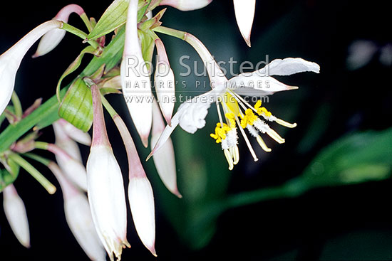 Native rengarenga lily flowers (Arthropodium cirratum), New Zealand (NZ) stock photo.