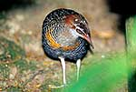 Native Banded Rail bird