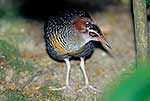 NZ Banded Rail