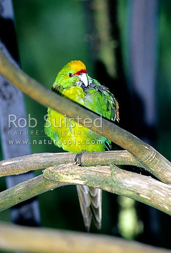 Yellow-crowned Parakeet bird (Kakariki), (Cyanoramphus auriceps), Fiordland National Park, New Zealand (NZ) stock photo.