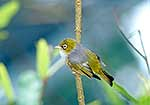 Silvereye bird on branch