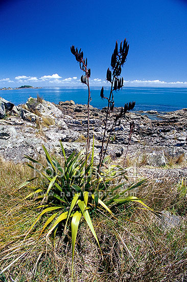 NZ mountain flax - Wharariki (Phormium cookianum) with seed heads on coast, Motutapu Island, Auckland City District, Auckland Region, New Zealand (NZ) stock photo.