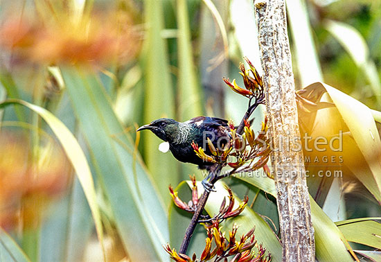 Tui Bird (Prosthemadera novaeseelandiae) feeding on Flax flowers (Phormium sp.), New Zealand (NZ) stock photo.