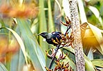Tui bird in flax flowers