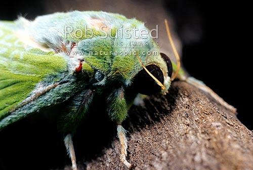 new zealand u0026 39 s largest native moth