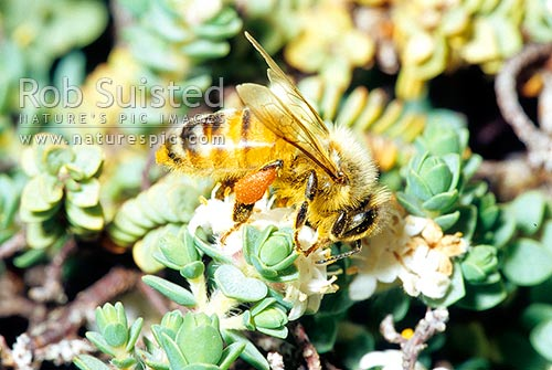Honey bee (Apis mellifera) pollinating Pinatoro flowers (Pimelea prostrata)-New Zealand Daphne. Pollen sacs visible, New Zealand (NZ) stock photo.