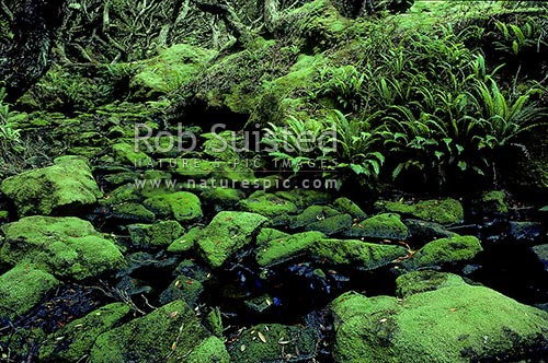 Mossy creek in Rata forest, Enderby Island, Auckland Islands, NZ Sub Antarctic District, NZ Sub Antarctic Region, New Zealand (NZ) stock photo.