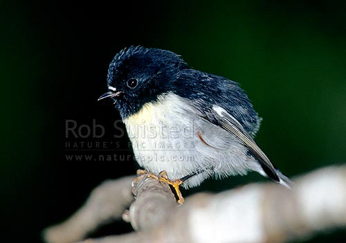 South Island male tomtit bird (Petroica m. macrocephala), Waiototo River, New Zealand (NZ) stock photo.