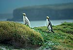 Yellow-eyed penguins - white