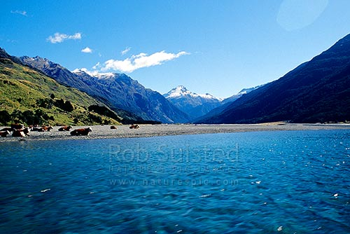 Looking up the Wilkin River past cattle to Mount (Mt) Aeolus (2301m), Makarora, Queenstown Lakes District, Otago Region, New Zealand (NZ) stock photo.