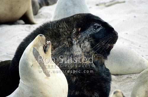 New Zealand Sea lion (Hooker's Sea lion - Phocartos hookeri) mature adult male bull and mature female cow together showing strong sexual dimorphism, Enderby Island, Auckland Islands, NZ Sub Antarctic District, NZ Sub Antarctic Region, New Zealand (NZ) stock photo.