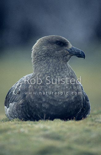 Southern Skua (Catharacta lonnbergi) sitting on sward near Pebble Point, Enderby Island, Auckland Islands, NZ Sub Antarctic District, NZ Sub Antarctic Region, New Zealand (NZ) stock photo.
