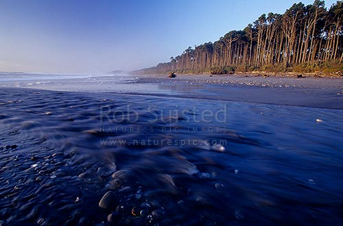 Maori beach at Bruce Bay with freshwater stream and stand of Rimu Trees ((Dacrydium cupressinum) on dunes at dusk, Bruce Bay, Westland District, West Coast Region, New Zealand (NZ) stock photo.