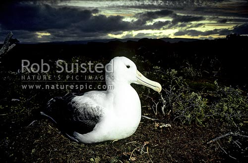 Royal albatross (Diomedea e. epomophora) and sunset, Enderby Island, Auckland Islands, NZ Sub Antarctic District, NZ Sub Antarctic Region, New Zealand (NZ) stock photo.