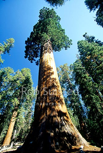 The General Grant Giant Sequoia tree (Sequoiadendron giganteum). Sequoia National Park, Sequoia National Park, USA, California District, California Region, United States of America stock photo.