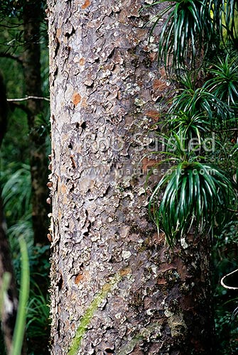 Kauri tree trunk and bark (Agathis australis), Kerikeri, Far North District, Northland Region, New Zealand (NZ) stock photo.