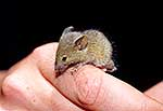 Young wild mouse