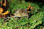 Wild mouse in forest