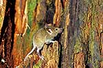 Wild mouse in beech forest