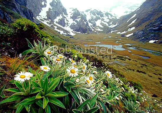 Mountain daisies (Celmisia sp.) in the head of the Route burn left branch (Valley of the Trolls), Mount Aspiring National Park, Queenstown Lakes District, Otago Region, New Zealand (NZ) stock photo.