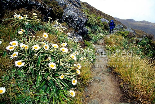 Mountain daisies (Celmisia verbascifolia) lining the Routeburn Track Great Walk. Tramper on track, Fiordland National Park, Southland District, Southland Region, New Zealand (NZ) stock photo.