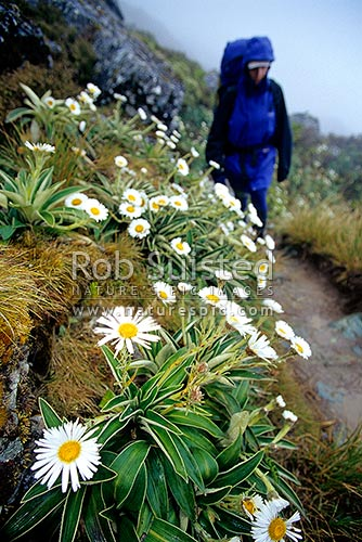 Mountain daisies (Celmisia sp.) lining the Routeburn Track Great Walk. Tramper on track, Fiordland National Park, Southland District, Southland Region, New Zealand (NZ) stock photo.
