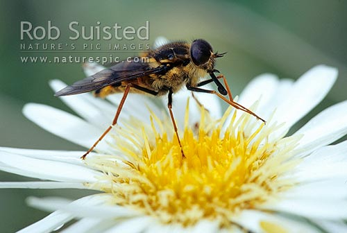 Bristle fly on flower - important pollinators, New Zealand (NZ) stock photo.