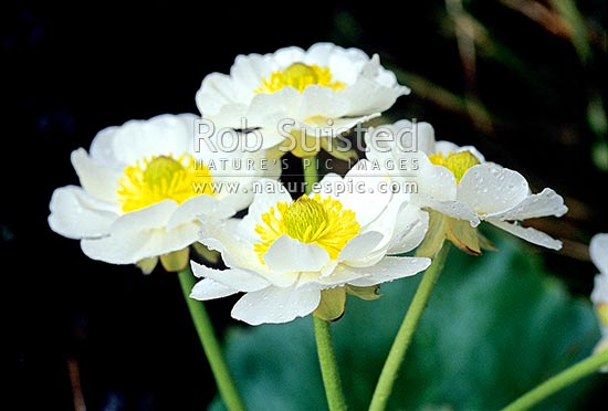 Giant buttercup, or Mount (Mt) Cook Lily -Ranunculus lyalli, Fiordland National Park, New Zealand (NZ) stock photo.
