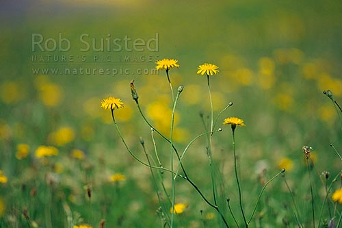 Smooth Catsear (Hypochoeris glabra) - introduced pasture daisy, New Zealand (NZ) stock photo.