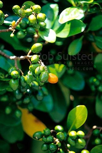 karaka tree leaves and drupesberries corynocarpus