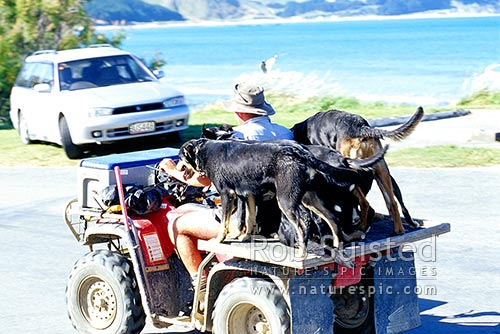 Farmer with farm dogs on four wheeled farm bike, Castlepoint Beach, Castlepoint, Masterton District, Wellington Region, New Zealand (NZ).