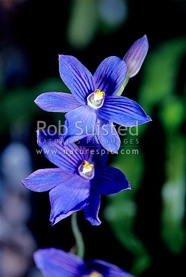 Native purple Sun orchids (Thelymitra cyanea), Tararua Forest Park, New Zealand (NZ) stock photo.