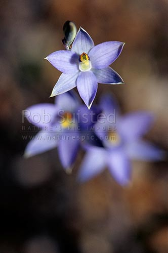 Native Sun orchids (Thelymitra hatchii), Tararua Forest Park, New Zealand (NZ) stock photo.