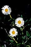Sticky-stalked daisy