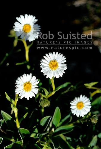 Sticky-stalked daisy (Celmisia hieracifolia), Tararua Forest Park, New Zealand (NZ) stock photo.
