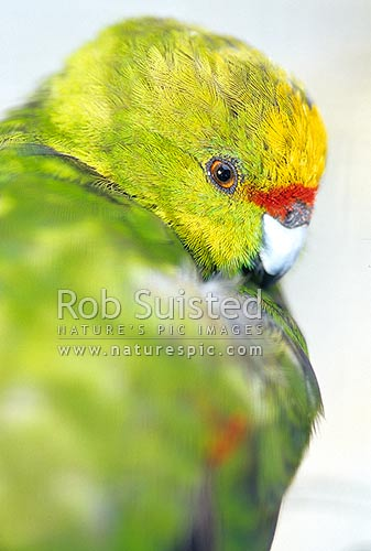 Native Yellow -crowned parakeet (Cyanoramphus auriceps) - Kakariki, New Zealand (NZ) stock photo.