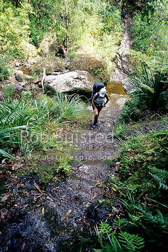 Tramper crossing Webb Creek and climbing the old historic pack horse steps enroute to the Pinnacles Hut, Kauaeranga Valley, Thames-Coromandel District, Waikato Region, New Zealand (NZ) stock photo.