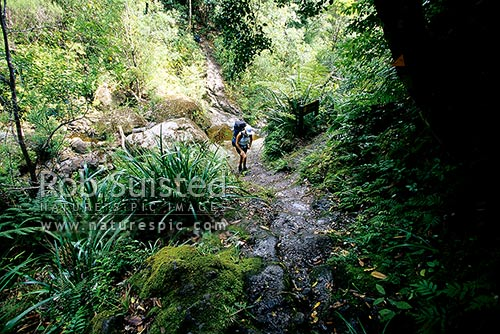 Tramper crossing Webb Creek and climbing the old historic pack horse steps en route to the Pinnacles Hut, Kauaeranga Valley, Thames-Coromandel District, Waikato Region, New Zealand (NZ) stock photo.