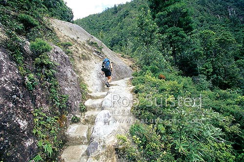 Tramper climbing the historic pack horse track steps en route to the Pinnacles Hut, Kauaeranga Kauri Trail, Kauaeranga Valley, Thames-Coromandel District, Tasman Region, New Zealand (NZ) stock photo.