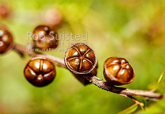 Manuka Seed Pods Ready To Open Leptospermum Scoparium